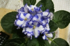бяло със синьо къдрава