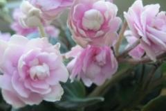 розова кичеста